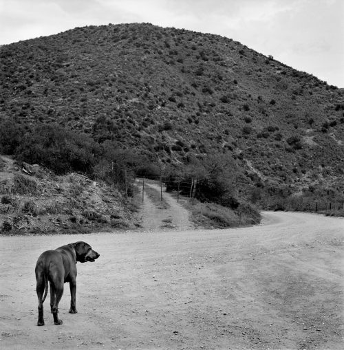 Ridgeback at Groenfontein, SA 2013